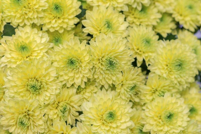 黄色花背景 黄色菊花雏菊花背景样式绽放 免版税库存照片