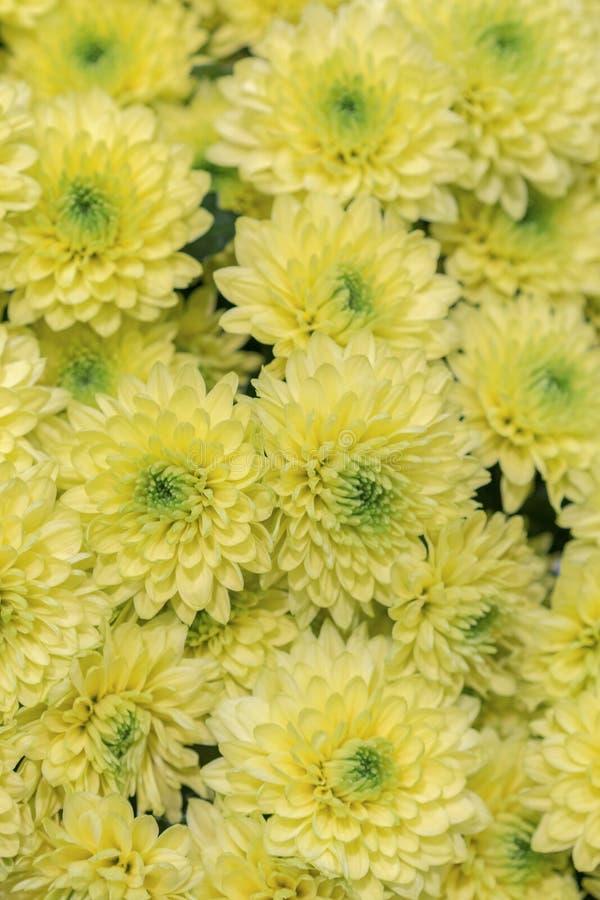 黄色花背景 黄色菊花雏菊花背景样式绽放 r 免版税库存图片