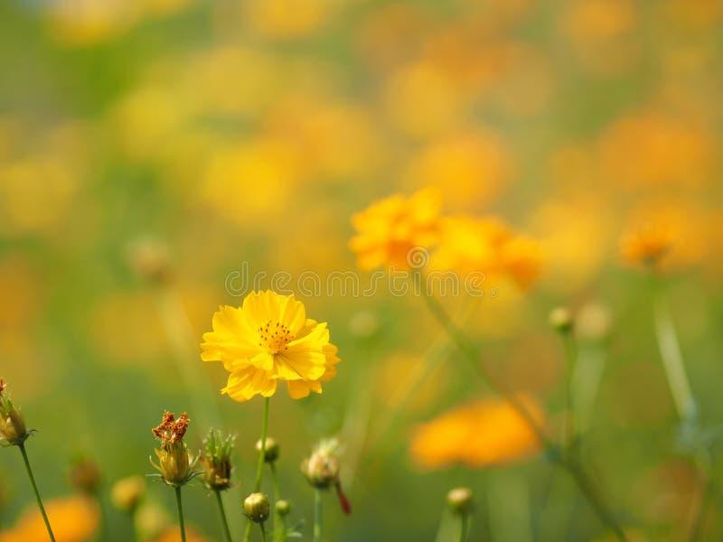 黄色花,万寿菊,墨西哥翠菊,Klondyke类型明亮轻Sulphureus美丽被弄脏自然背景 库存图片