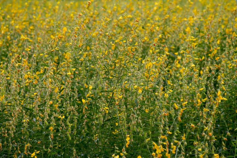 黄色花,猪屎豆属JUNCEA,阳大麻领域在一阳光天,亚洲,泰国,农业 免版税库存图片