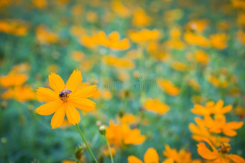 黄色花 与绿色叶子的黄色波斯菊和蜂或者昆虫在庭院里 免版税库存图片