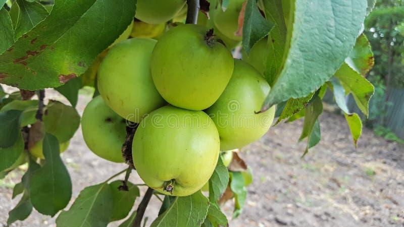 黄色苹果在树,苹果树分支结果实 库存照片