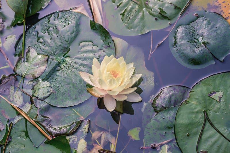 黄色荷花在池塘 库存图片