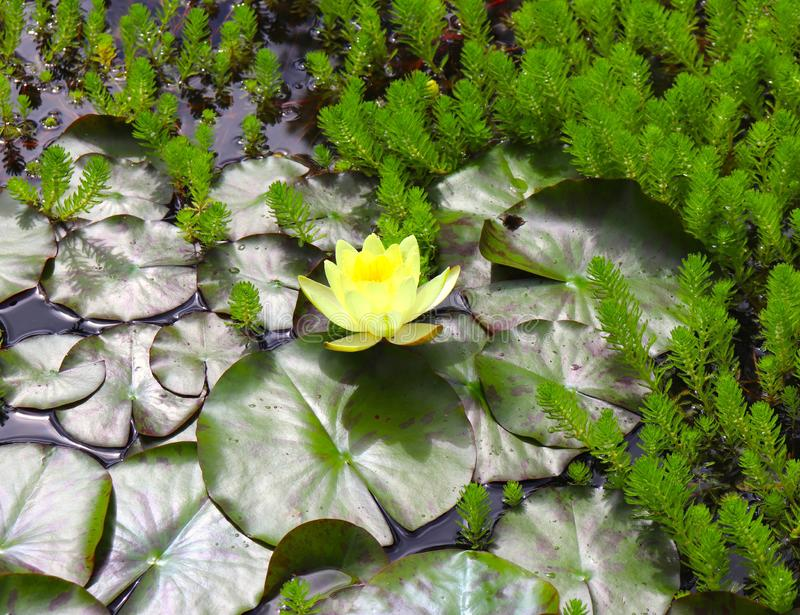 黄色莲花在有睡莲叶和蕨的池塘 库存图片