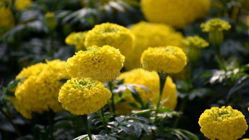黄色菊花, Samanthi poo,菊花indicum 小花,开花 免版税库存图片