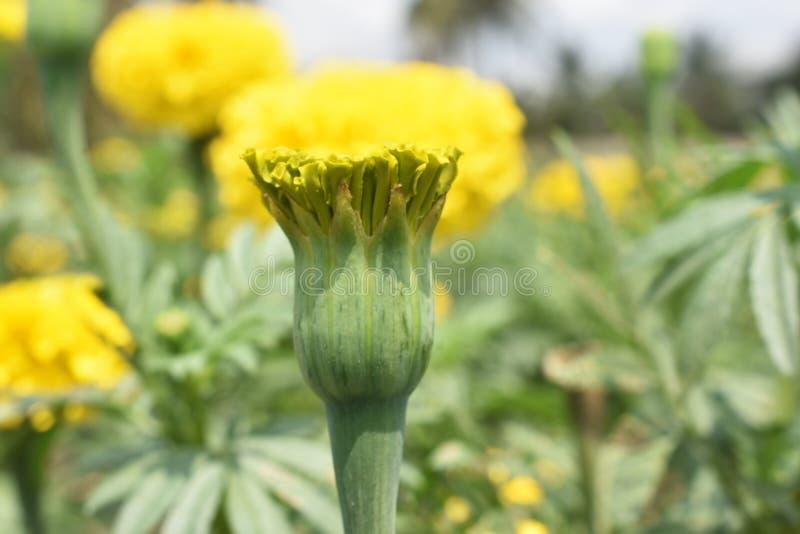 黄色菊花, Samanthi poo,菊花indicum 库存照片
