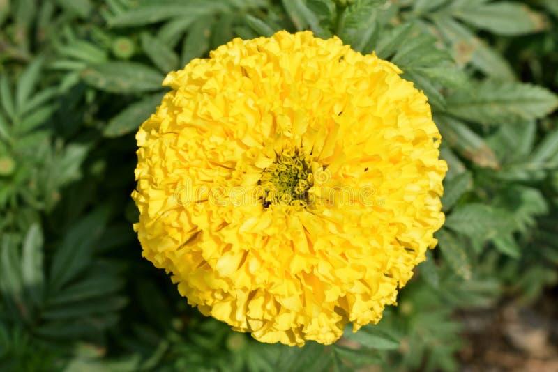 黄色菊花, Samanthi poo,菊花indicum 图库摄影