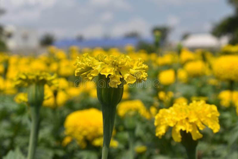 黄色菊花, Samanthi poo,菊花indicum 免版税库存图片