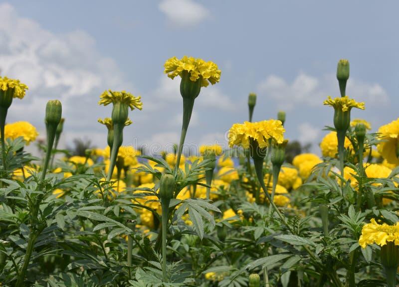 黄色菊花, Samanthi poo,菊花indicum 免版税库存照片