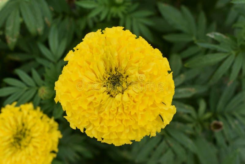 黄色菊花, Samanthi poo,菊花indicum 库存图片