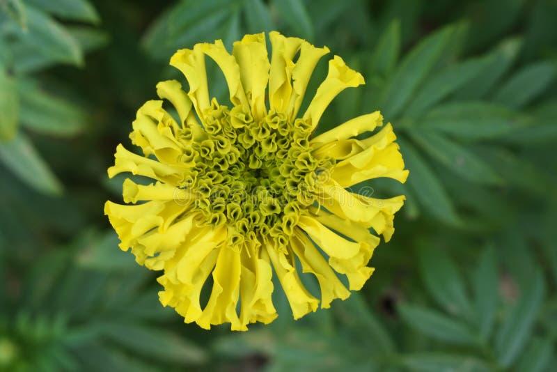 黄色菊花, Samanthi poo 库存图片