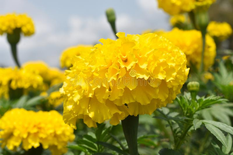 黄色菊花, Samanthi poo 库存照片