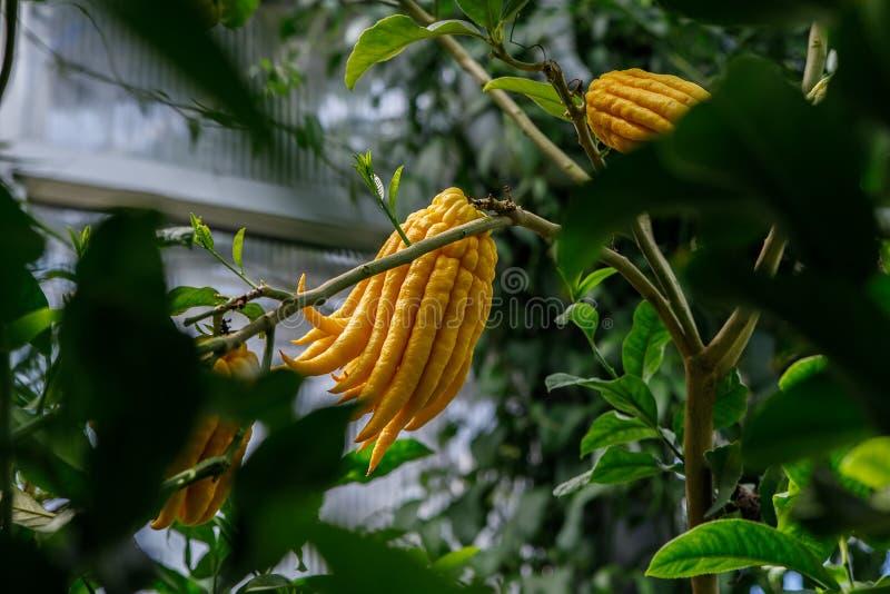 黄色菩萨的手手指的香橼柑桔 免版税库存图片