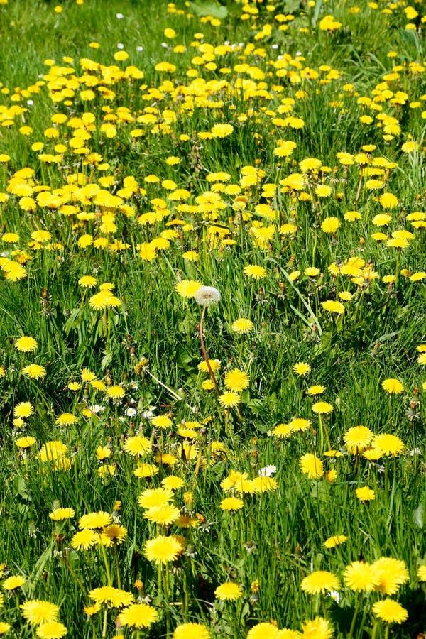 黄色蒲公英领域 库存照片