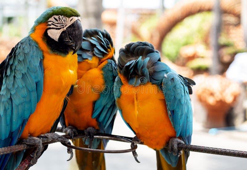 黄色蓝色鹦鹉 免版税库存图片