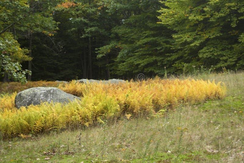黄色蕨和的冰砾在打开的森林,新罕布什尔 图库摄影