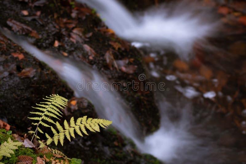 黄色蕨细节在小小河和瀑布上的 免版税图库摄影