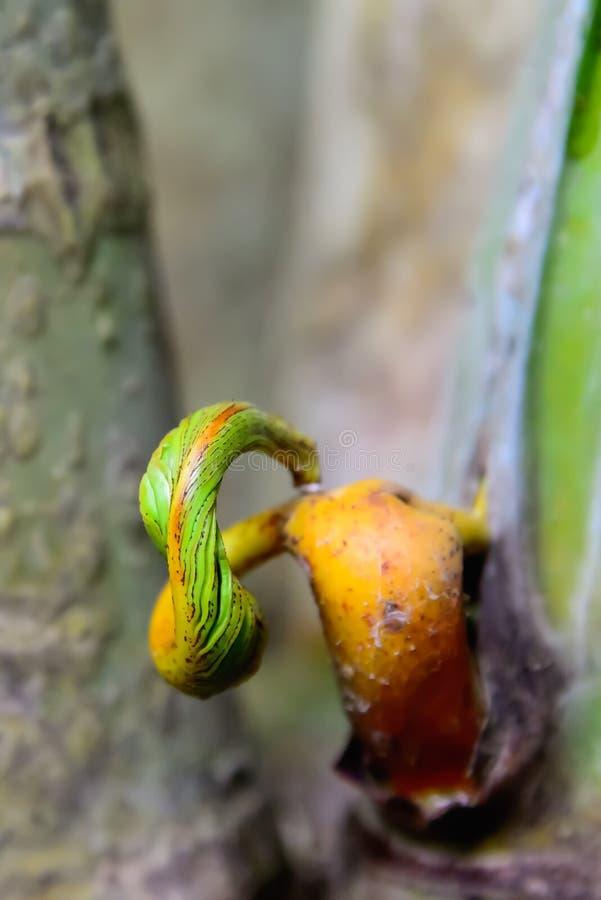 黄色藤茎棕榈 库存图片