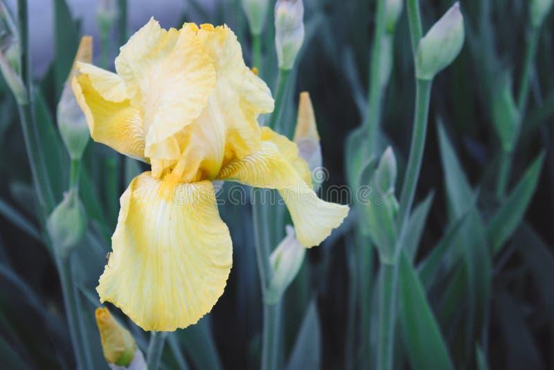 黄色虹膜以一个绿色庭院为背景的花特写镜头 黄色虹膜花在庭院里增长 免版税图库摄影