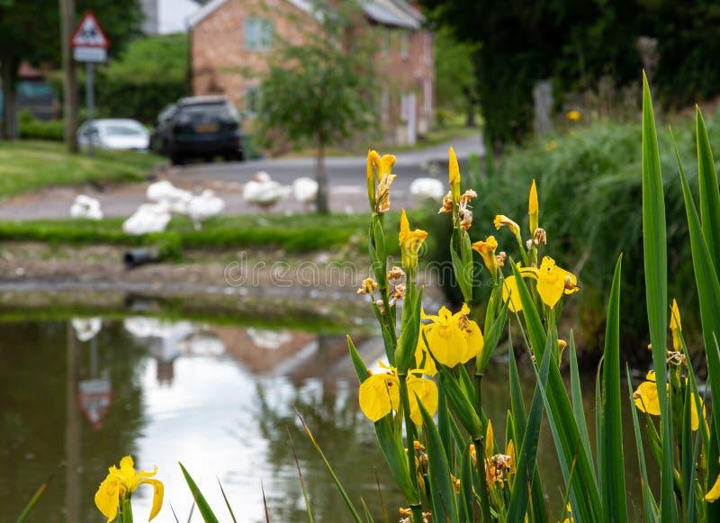 黄色虹膜和池塘 免版税库存照片