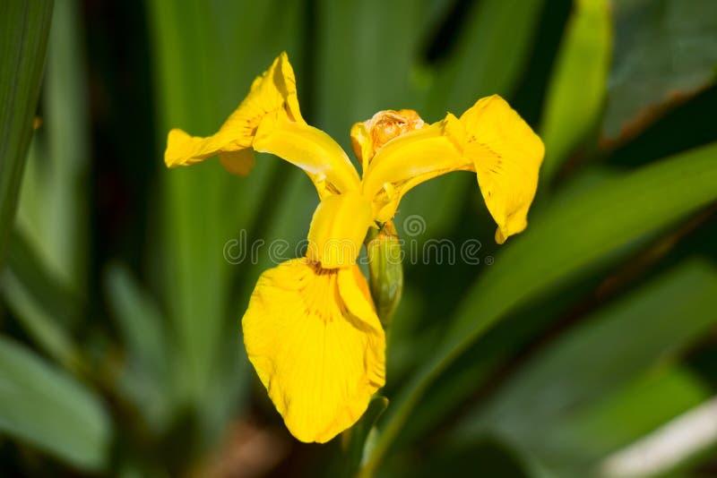 黄色虹膜 免版税库存照片