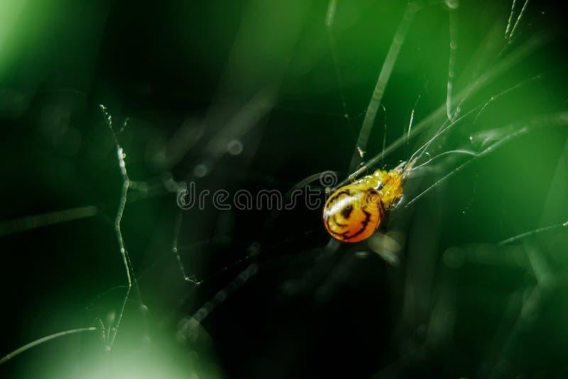 黄色蜘蛛是设陷井牺牲者的辫子 免版税库存图片