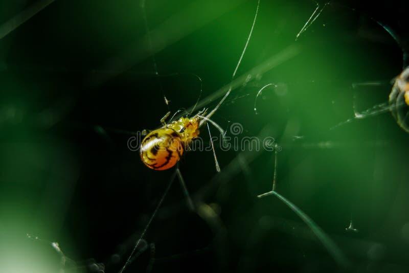 黄色蜘蛛是设陷井牺牲者的辫子 免版税库存照片