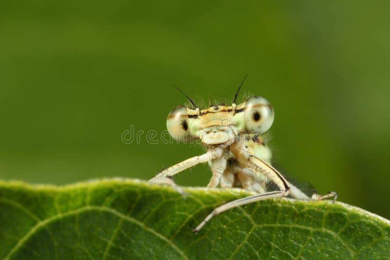 黄色蜻蜓详细资料  免版税库存照片