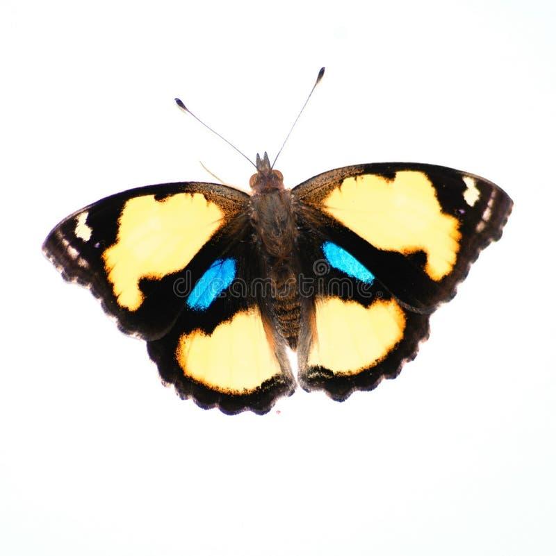 黄色蝴蝶花蝴蝶 免版税库存图片