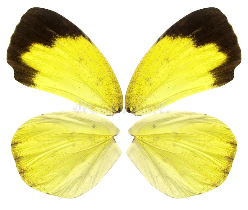 黄色蝴蝶飞过在白色隔绝的背景 库存照片