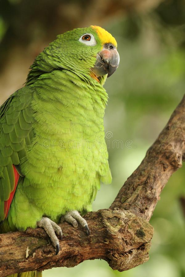 黄色被加冠的亚马逊或黄色被加冠的鹦鹉亚马逊ochrocephala是鹦鹉的种类 免版税库存照片