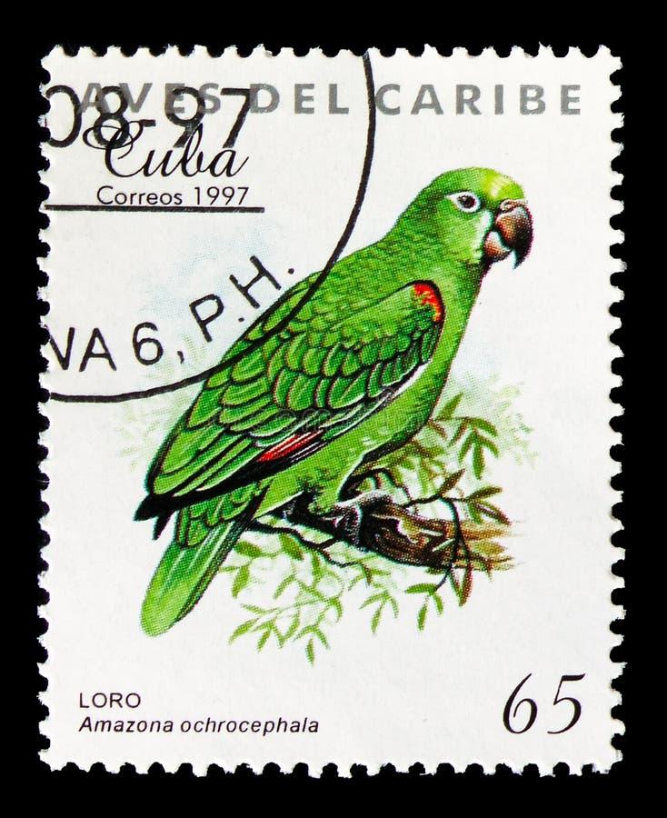 黄色被加冠的亚马逊(亚马逊ochrocephala),加勒比鸟serie,大约1997年 库存照片