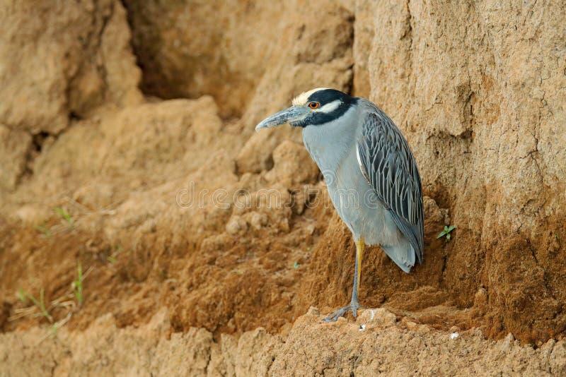 黄色被加冠的夜苍鹭, Nyctanassa violacea,苍鹭在Tarcoles河,哥斯达黎加 布朗泥与鸟的银行岸 野生生物 免版税库存照片