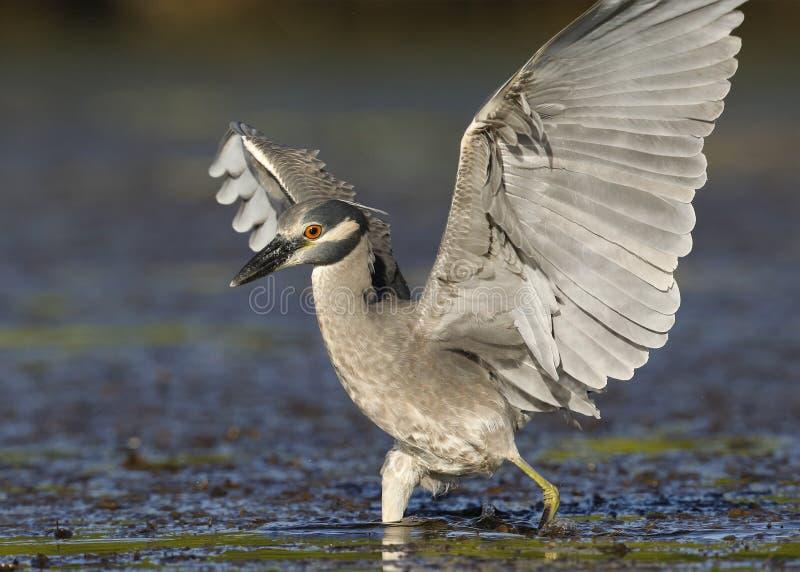 黄色被加冠的夜鹭属着陆在佛罗里达盐水湖 免版税库存图片