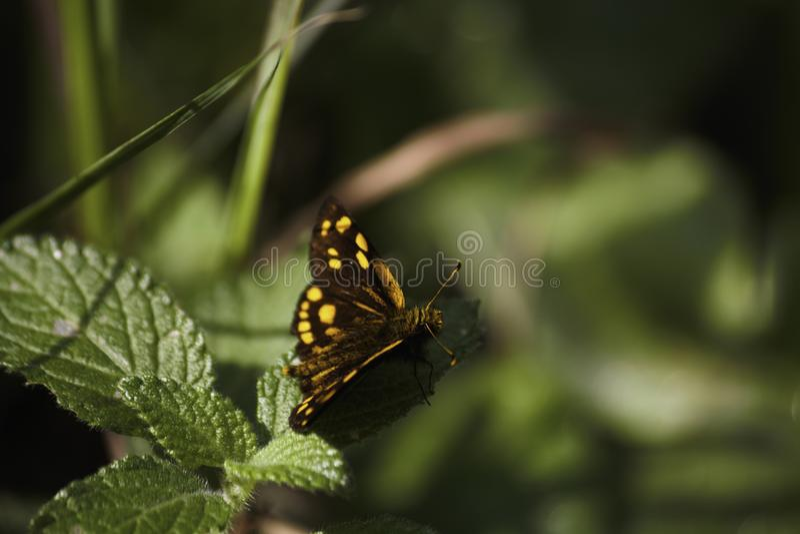 黄色被察觉的船长蝴蝶osmodes sp 坐一片叶子在豪华的绿色森林里 免版税库存图片