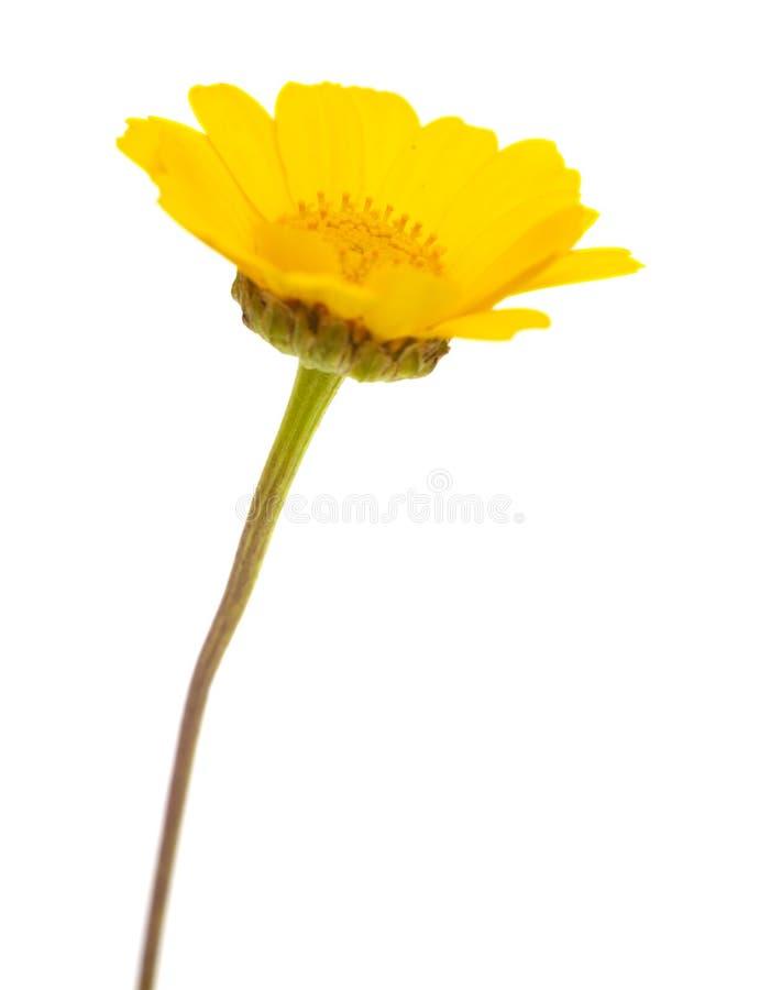 黄色诗歌选菊花 库存照片