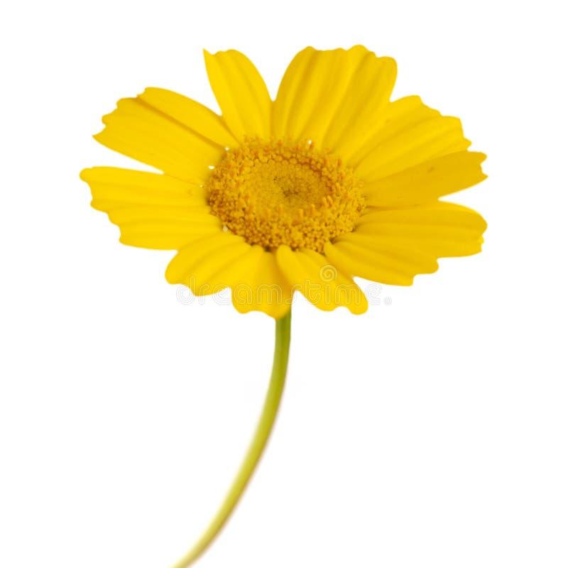 黄色诗歌选菊花 图库摄影