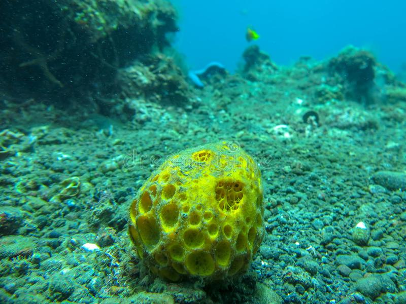 黄色软的珊瑚水中有蓝色背景 在五颜六色的礁石的佩戴水肺的潜水 生动的珊瑚的水下的摄影 免版税图库摄影