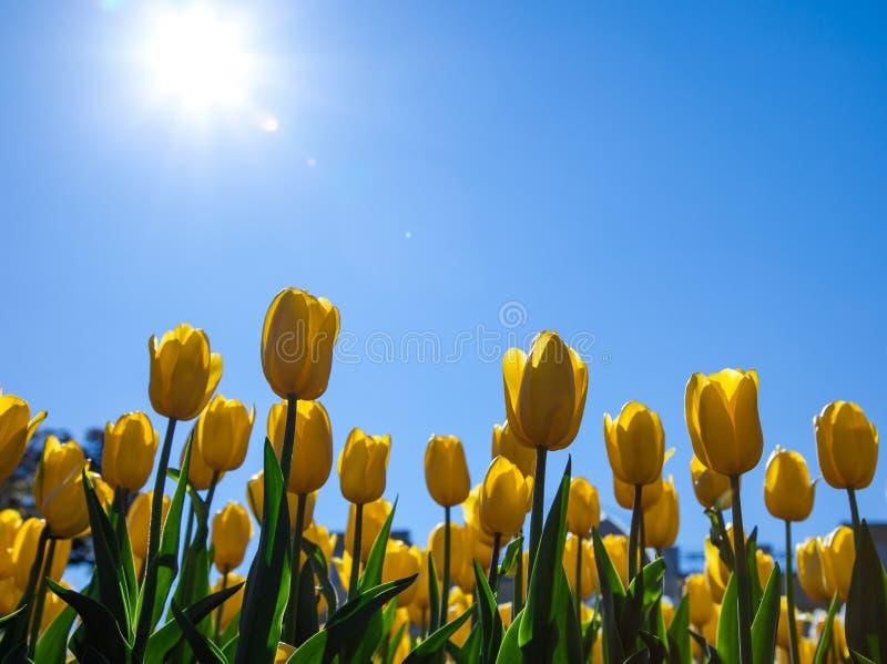 黄色郁金香美丽的花束  与明亮的太阳背后照明的蓝色春天天空 郁金香标志春天庆祝 免版税图库摄影