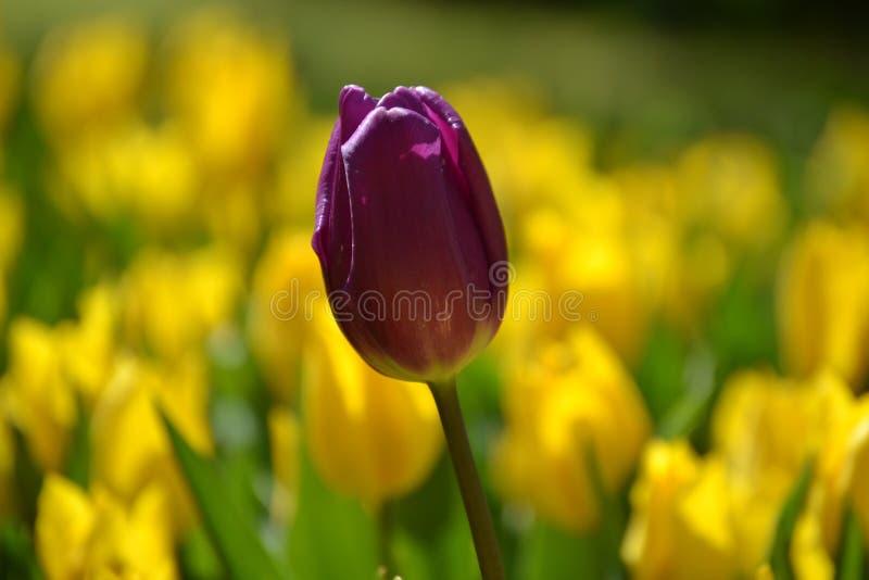 黄色郁金香花红色郁金香 库存图片