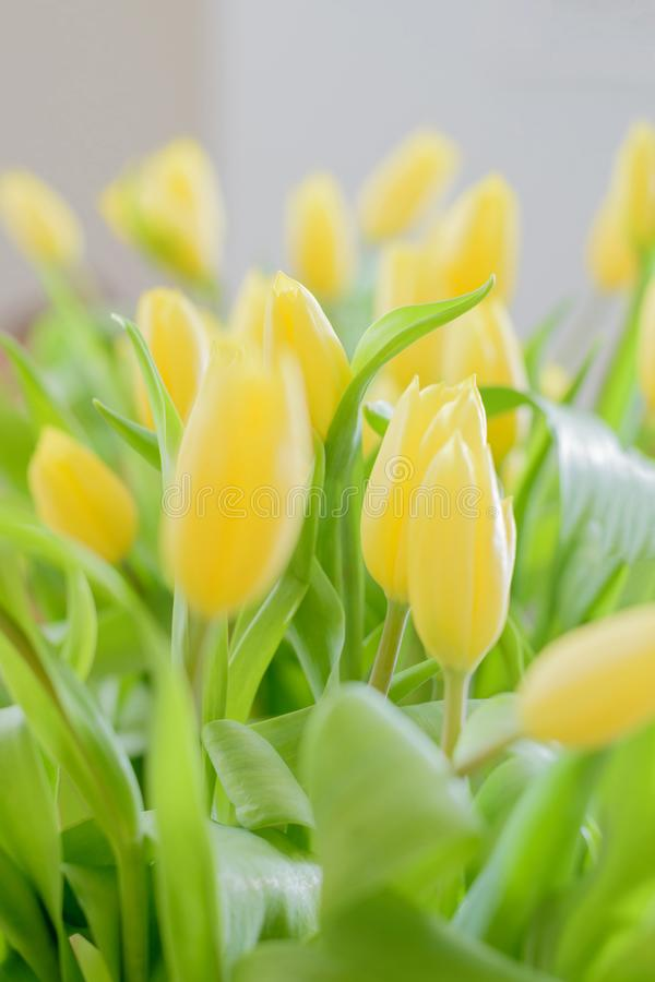 黄色郁金香花花束  图库摄影