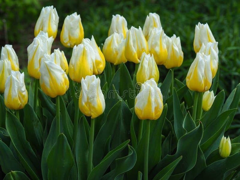 黄色郁金香,品种发火焰Agrass 免版税库存图片
