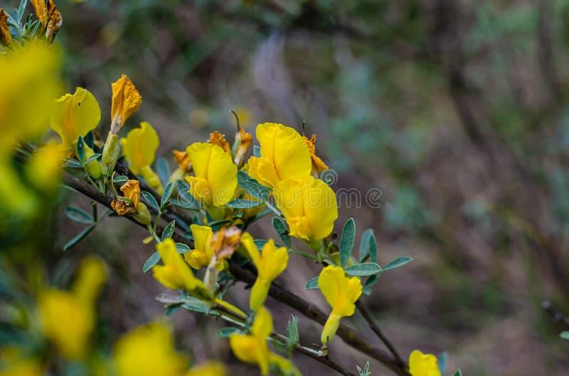 黄色野花分支  E 文本的大区域 r 库存图片