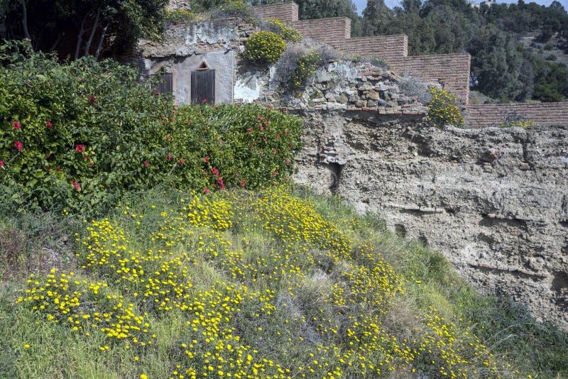 黄色野花和灌木反对废墟背景  Gibralfaro阿拉伯堡垒的古老石墙  地标 免版税库存图片
