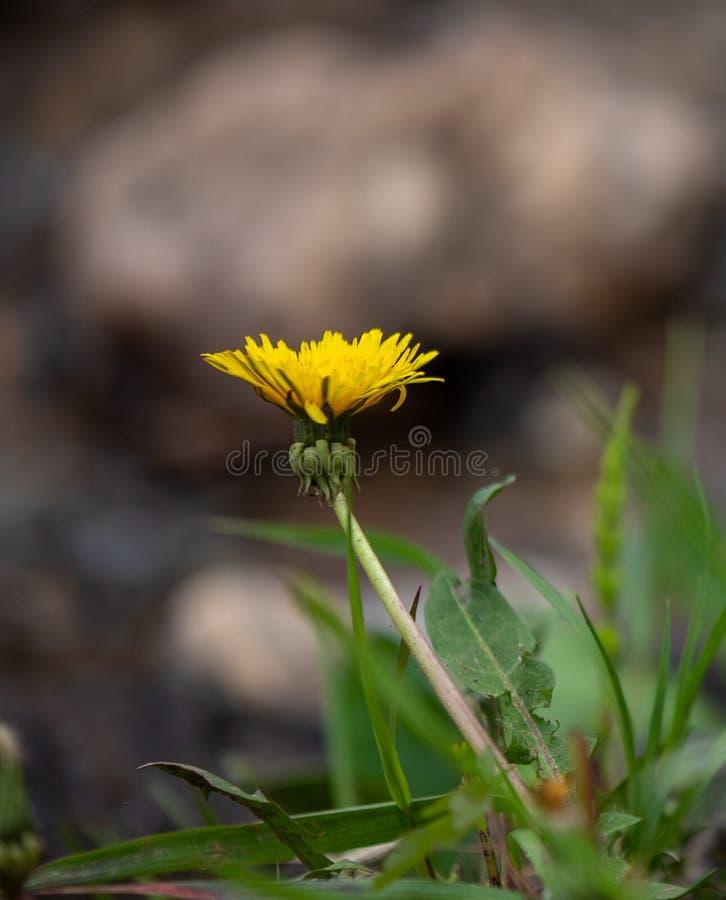 黄色野花在洛矶山国家公园 免版税图库摄影