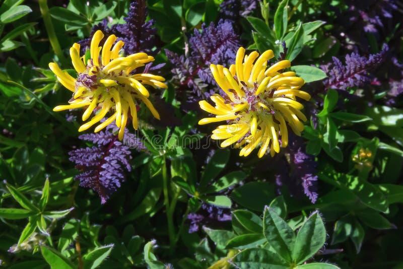 黄色野花在Mt的次级高山区域 更加多雨,华盛顿州美国 图库摄影