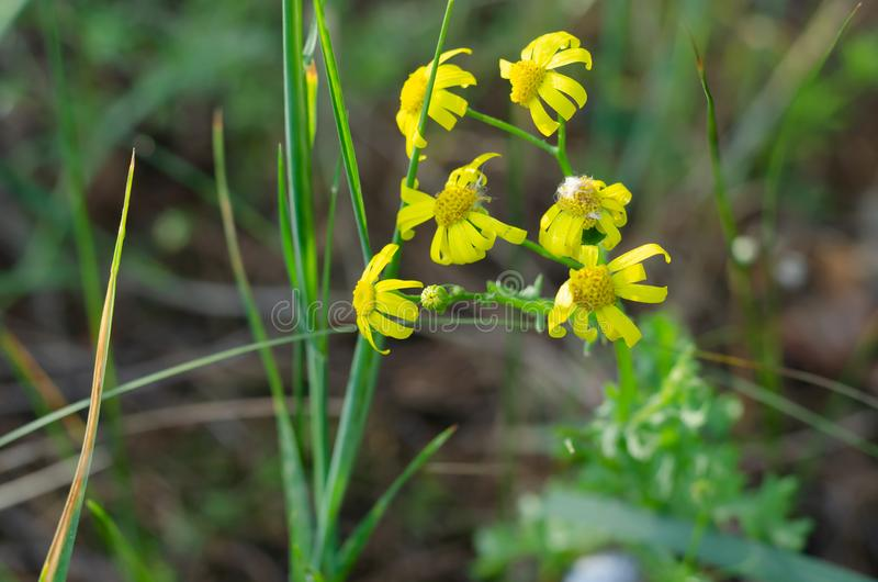 黄色野花紧贴对他们的与他们的瓣的绿色词根 库存图片