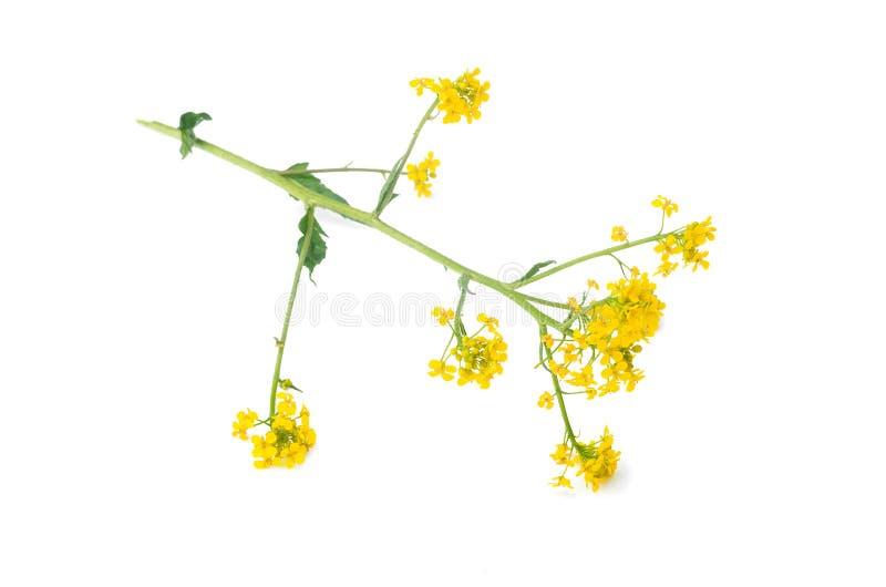 黄色野花词根 库存照片