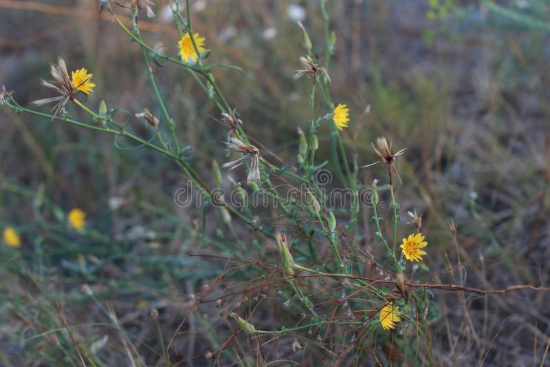 黄色野花 开花刺 库存图片