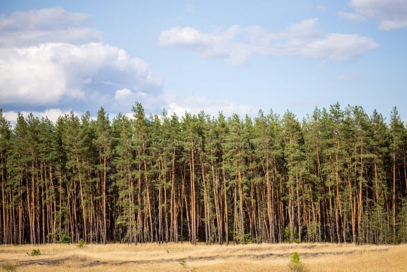 黄色野草草甸、杉木森林和蓝色多云天空全景在背景 库存照片